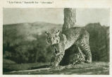 1900 Bobcat chained to a tree